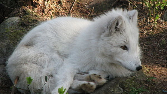 STOP WOLF KILLING