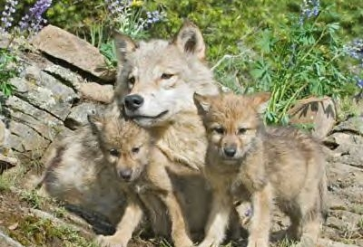 Tell Secretary Salazar you oppose removing federal protections for gray wolves.