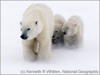 Speak Out for Polar Bears and Other Imperiled Wildlife