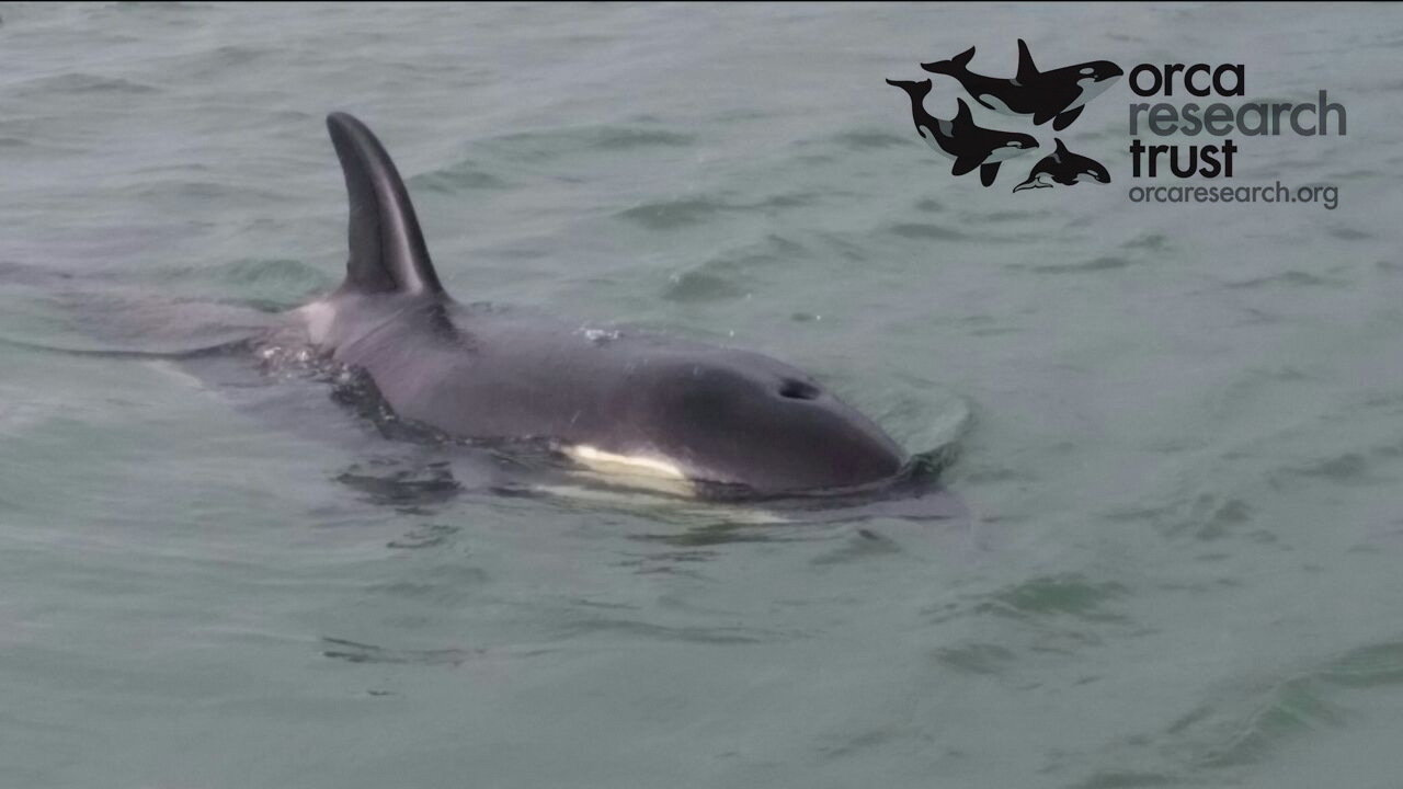 New Zealand Government: Allow Dr Ingrid Visser of the Orca Research Trust to assist lone baby orca in New Zealand
