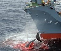 Stop the Killing of Whales
