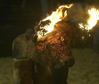 LIVE BULL TO BE SET ON FIRE-SPAIN-ACTION NEEDED