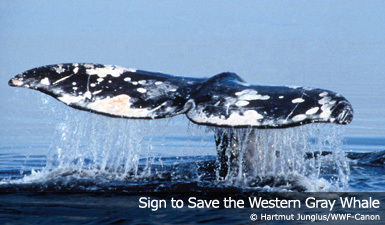 Help Protect the Western Gray Whale