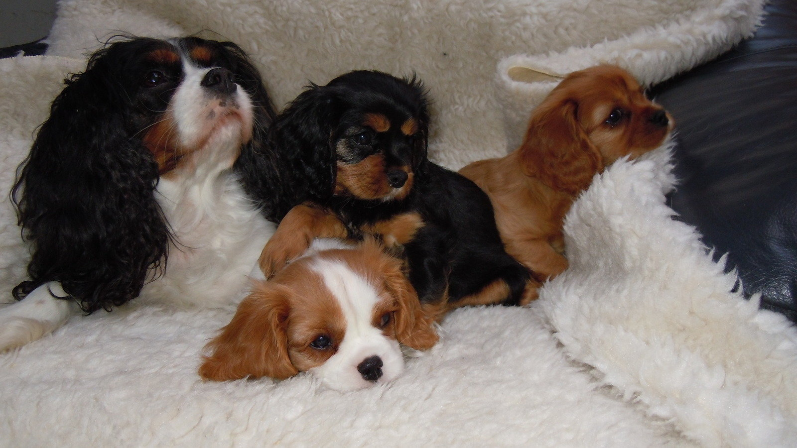 Cavalier King Charles Spaniel Dogs For Sale In Uk