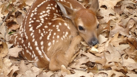 Fawns To Be Orphaned As Mothers Methodically Executed 09/01/09
