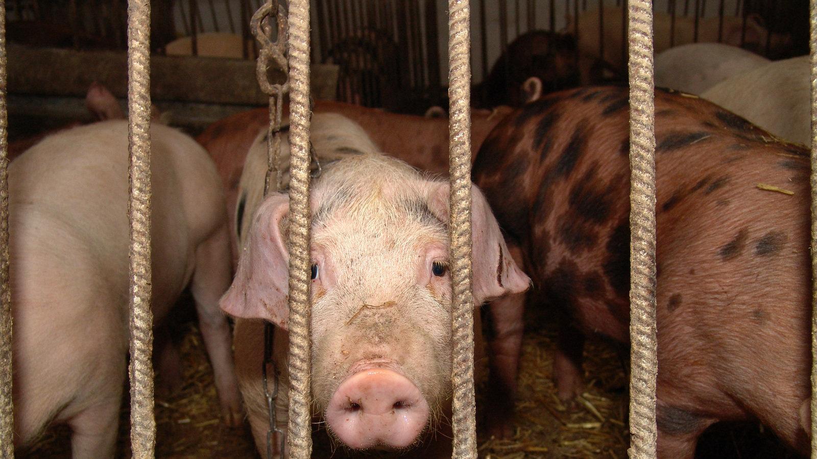 Руководство по сексу с свиней 23 фотография