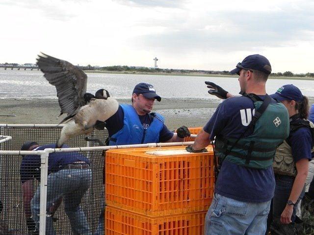 ny dec canada goose season
