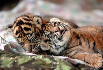 Get Congress to Save Tigers from Poaching!