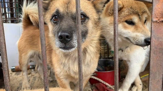 Daegu, South Korea! Close Down Chilseong Market's Despicable and Illegal Dog Slaughterhouses-Enforce The Animal Protection Law!