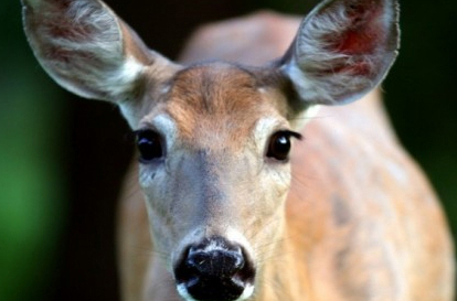 Shot for a Tulip? Say NO to Cayuga Heights NY's deer-killing plan