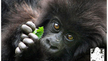 Start a gorilla fundraising page