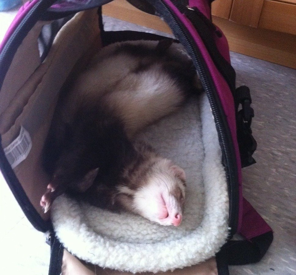 Petition air canada westjet allow ferrets as carry on for Air canada pet in cabin
