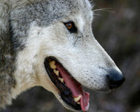 Urge President Obama to Stand Up for Wolves