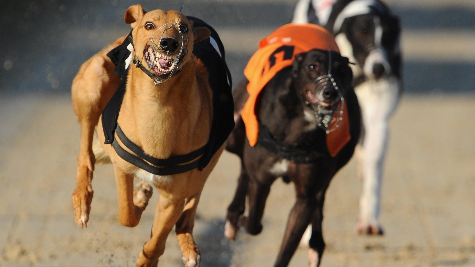 global greyhounds
