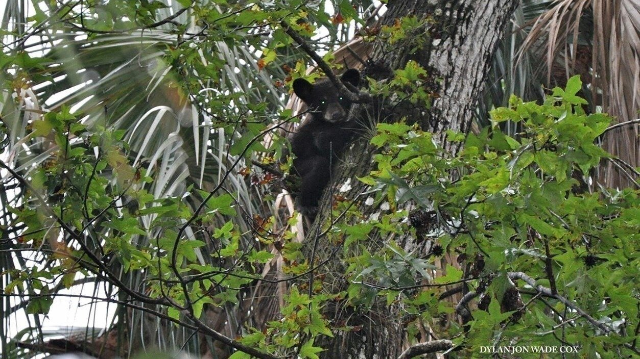 Petition save our bears for Florida fish and wildlife commission