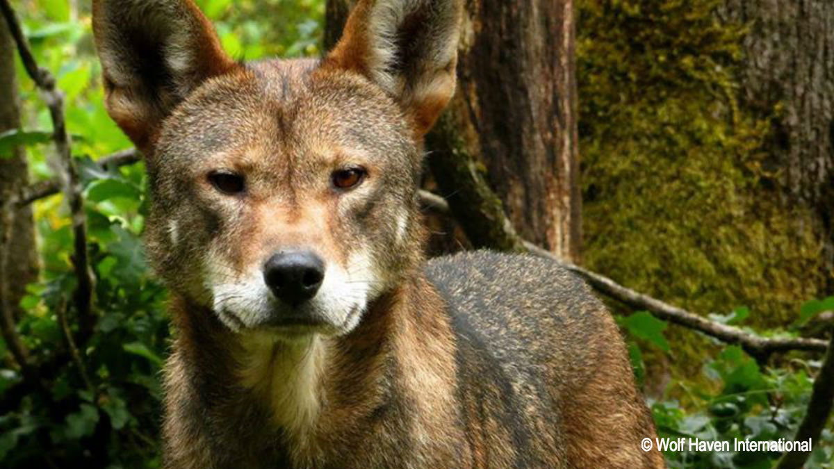 an evaluation of the red wolf recovery program in eastern north carolina Washington, nc (wnct) – citizens and organizations in eastern north carolina are getting together this week in an effort to keep the red wolf recovery program active.