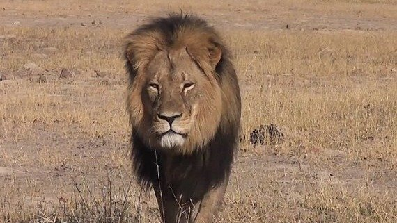 Justice for Cecil the iconic collared lion slaughtered by trophy hunter!