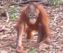 Save the home of the Orangutan in Aceh, Indonesia from palm oil!