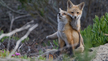 Help Stop the Cruel Killing of Coyotes and Foxes in Indiana