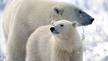 Make the Call for the Polar Bears