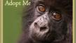 Adopt an endangered mountain gorilla this holiday season