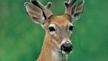 Nature Conservancy Killing Deer Again & Again