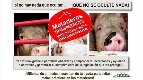 Animales sacrificados en los mataderos incorrectamente o sin ser antes aturdidos, con un sufrimiento horrible IxWdjrLsSVAbAFu-556x313-noPad