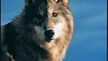 Stop the Montana & Idaho Wolf Killings