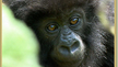 Become An Annual Member of The Dian Fossey Gorilla Fund International