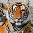 Save India's Tigers