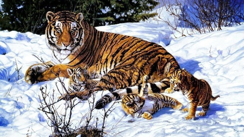 Habitat  The Siberian Tiger