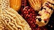 Sign this letter opposing GMO Corn in Mexico